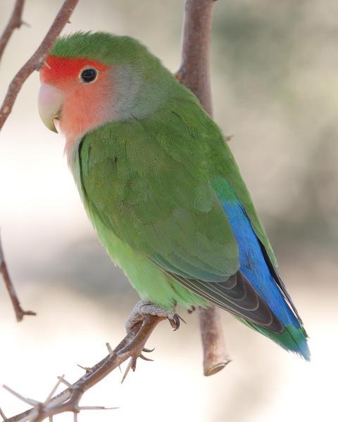 Rosy-faced Lovebird