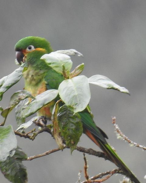 Golden-plumed Parakeet