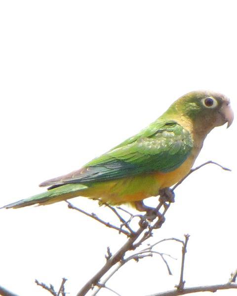 Cactus Parakeet