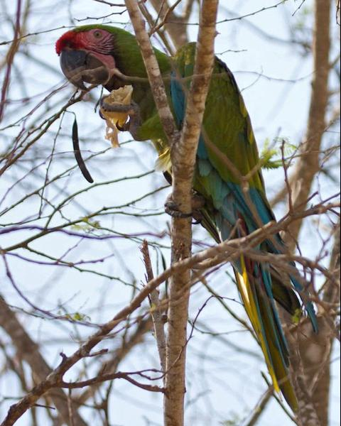 Military Macaw