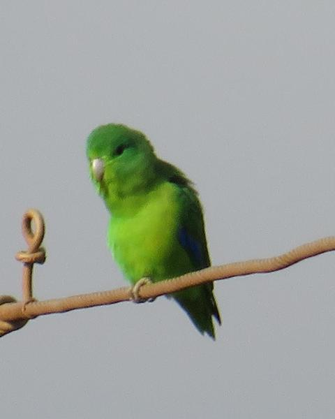 Blue-winged Parrotlet