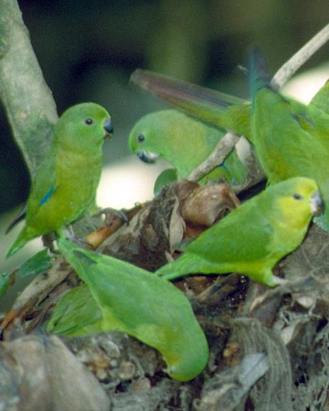 Dusky-billed Parrotlet