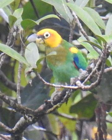Saffron-headed Parrot