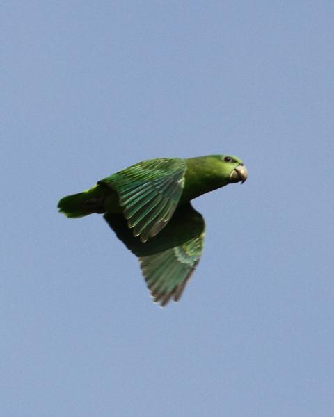 Short-tailed Parrot