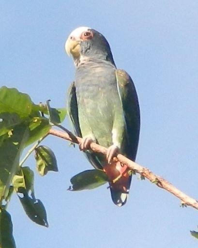 White-crowned Parrot