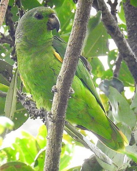 Scaly-naped Parrot