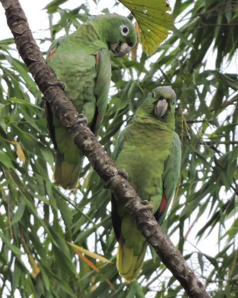 Mealy Parrot