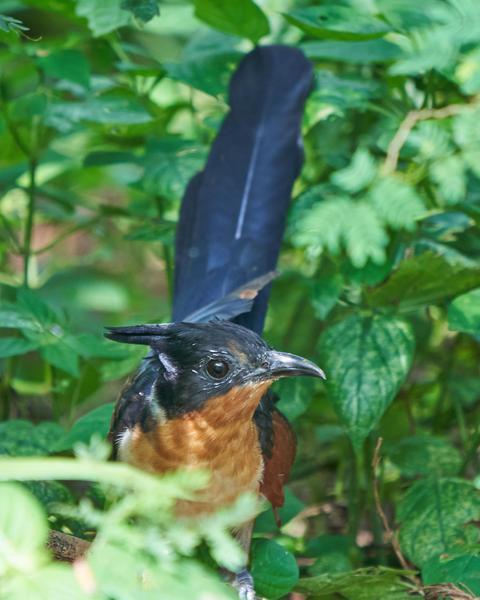 Chestnut-winged Cuckoo