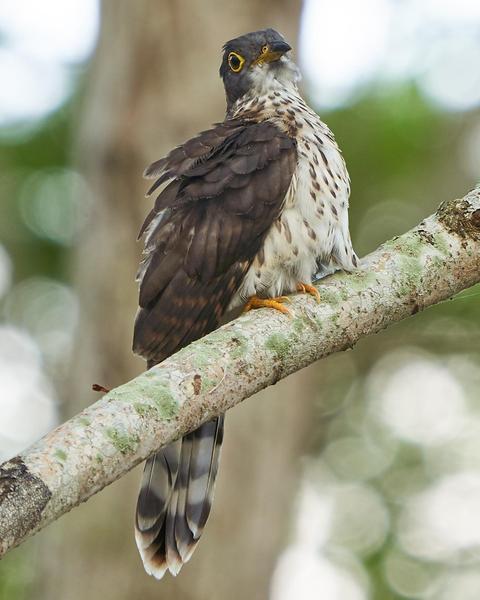 Malaysian Hawk-Cuckoo