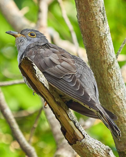 Indian Cuckoo