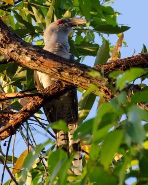 Channel-billed Cuckoo