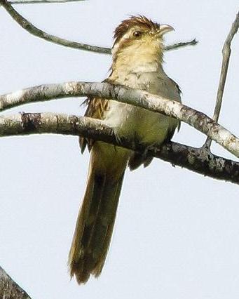 Striped Cuckoo