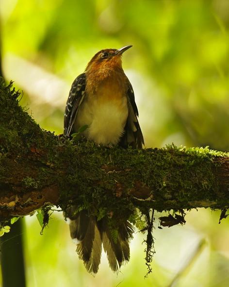 Pavonine Cuckoo