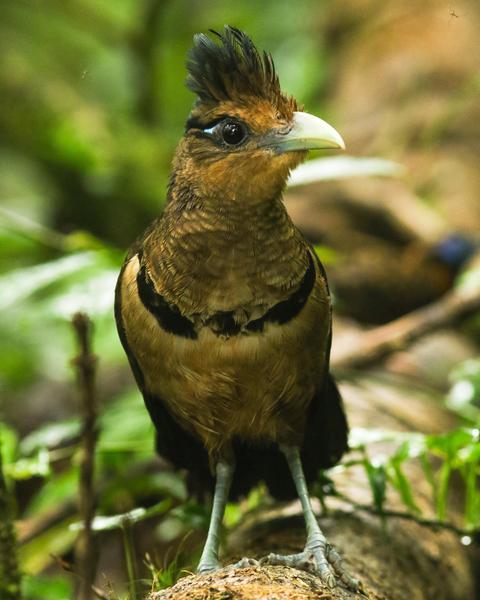 Rufous-vented Ground-Cuckoo