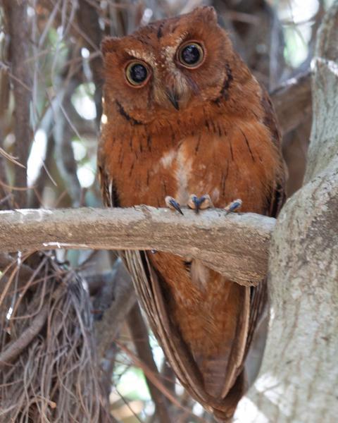 Torotoroka Scops-Owl