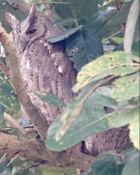Pacific Screech-Owl