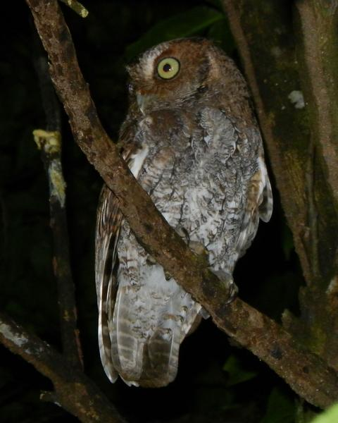 Middle American Screech-Owl