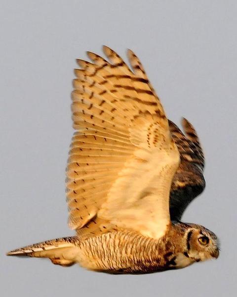 Great Horned Owl (Great Horned)