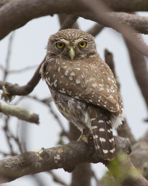 Peruvian Pygmy-Owl
