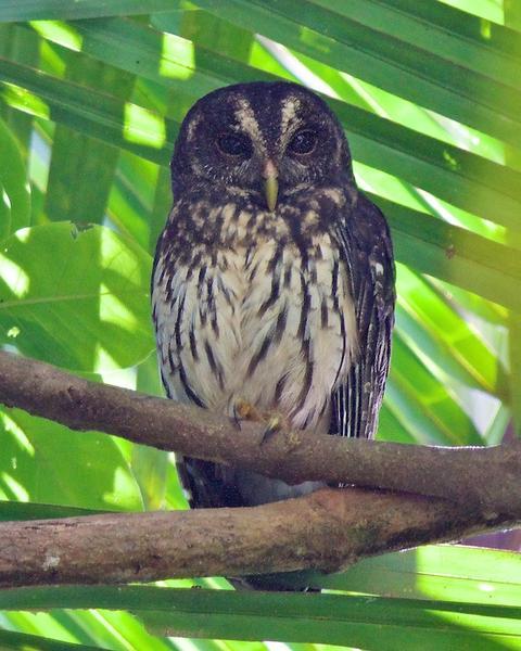 Mottled Owl