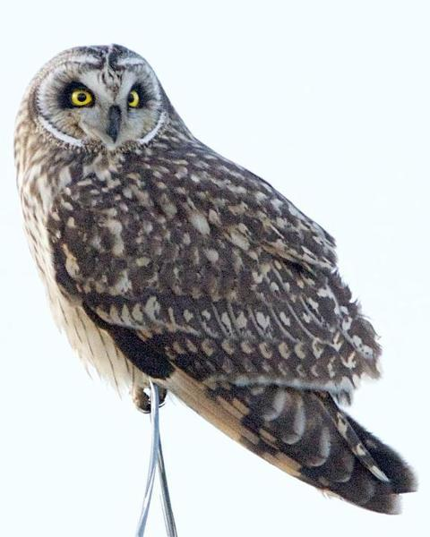 Short-eared Owl (Northern)