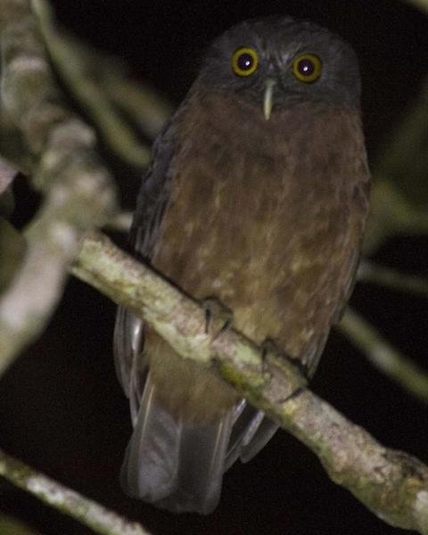 Papuan Owl