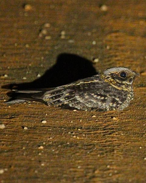 Spotted Nightjar
