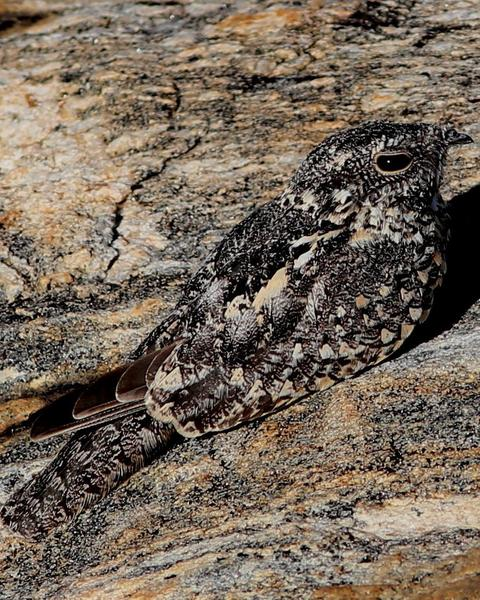 Pygmy Nightjar