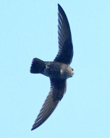 Black Swift (borealis)
