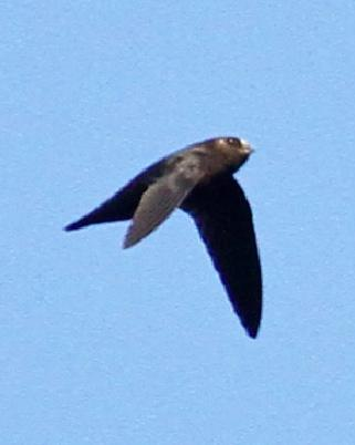 Spot-fronted Swift