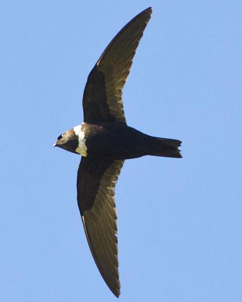 White-collared Swift