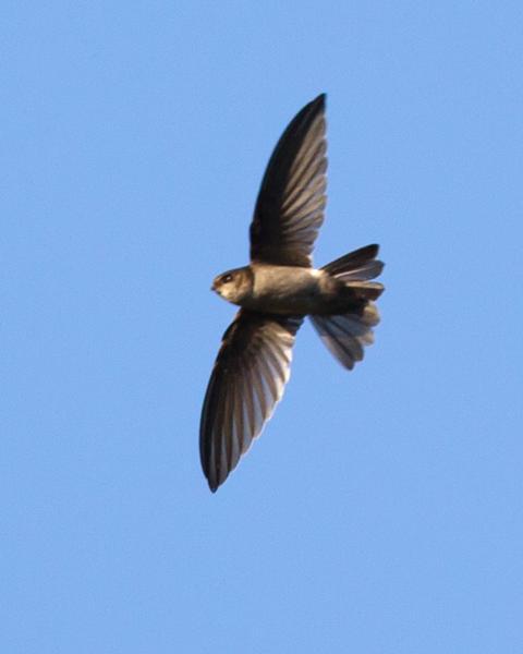 Australian Swiftlet
