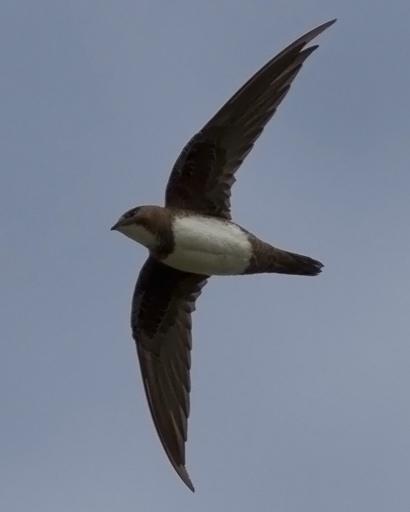 Alpine Swift