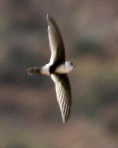 Andean Swift