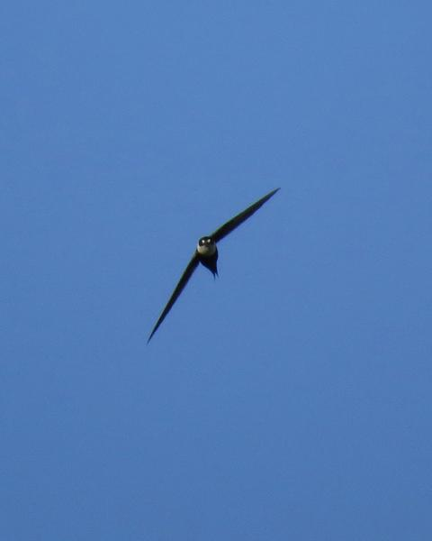 Great Swallow-tailed Swift