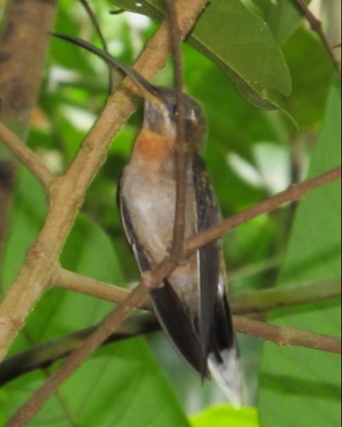 Band-tailed Barbthroat