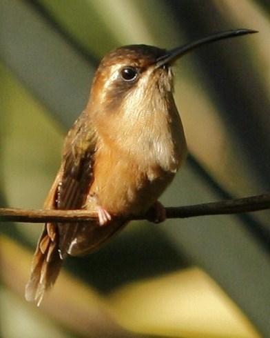 Stripe-throated Hermit