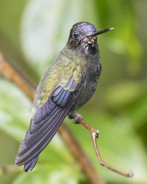 Blue-fronted Lancebill
