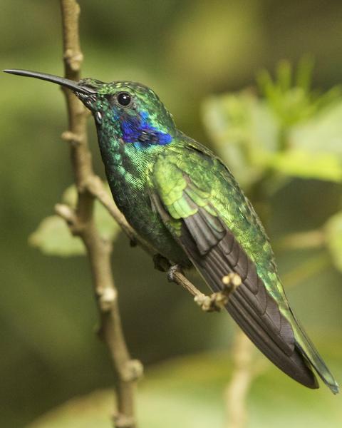 Lesser Violetear (Costa Rican)