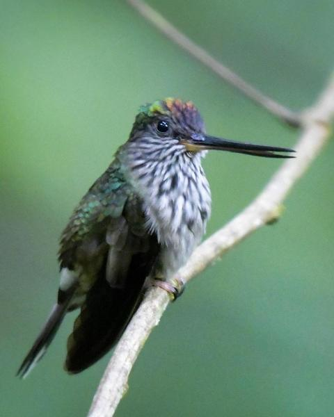 Tooth-billed Hummingbird