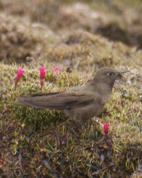 Olivaceous Thornbill