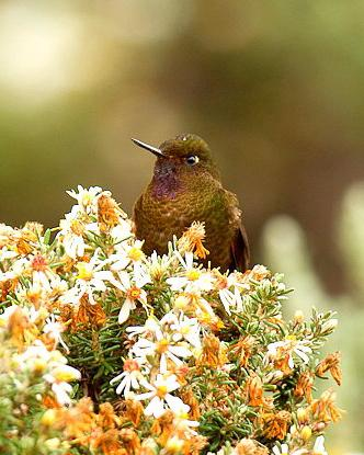 Violet-throated Metaltail