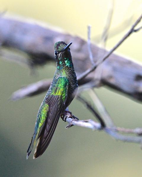 Rivoli's Hummingbird
