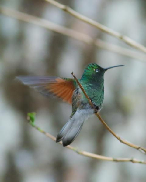 White-tailed Hummingbird