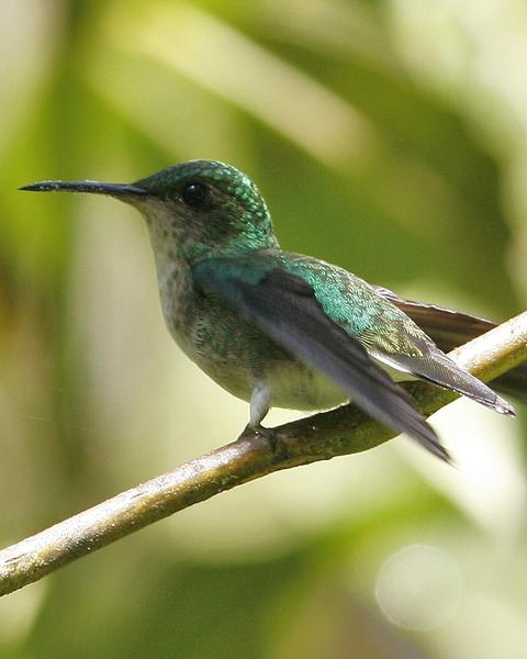 White-tailed Emerald