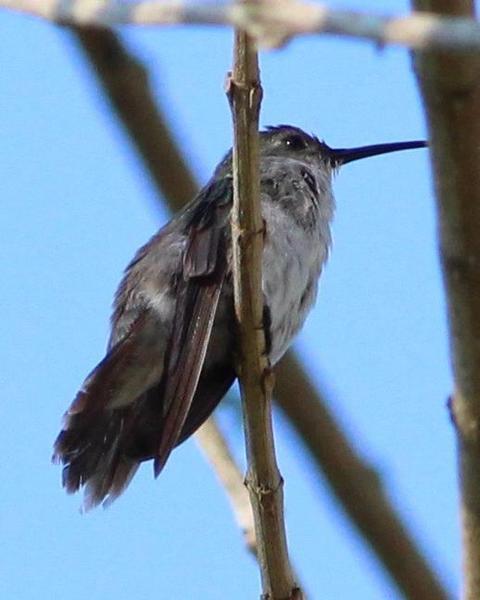 Olive-spotted Hummingbird