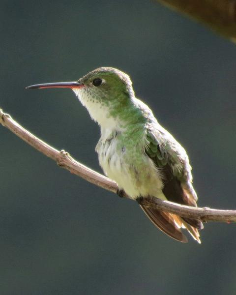 Green-and-white Hummingbird