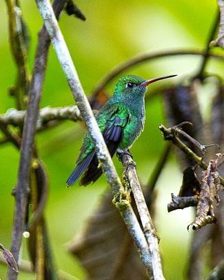 Glittering-throated Emerald