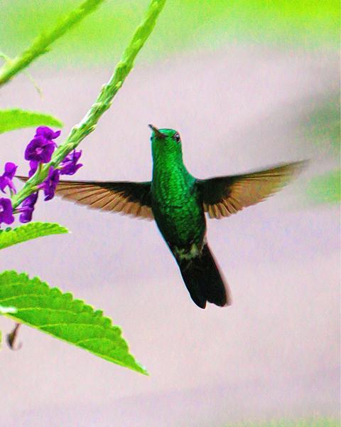 Steely-vented Hummingbird