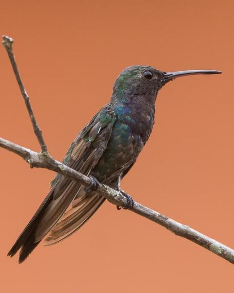 Sapphire-throated Hummingbird